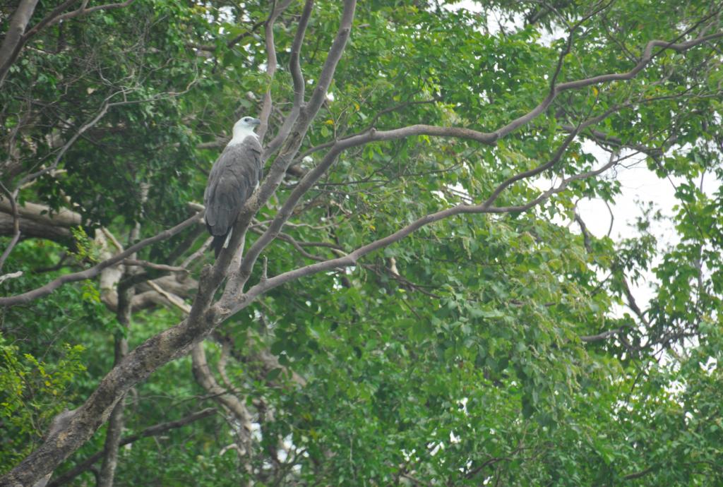 Sea Eagle in branch