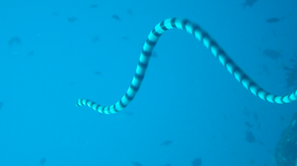 White Banded Sea snake